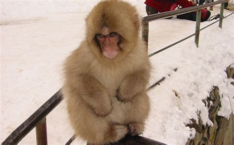 natural snow monkey japanese macaque facts