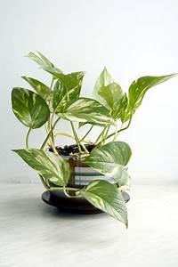 Hängepflanzen Für Die Wohnung Gr Ne Wand Raffinierter Blickfang F R