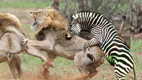 unbelievable zebra fight  lion amazing