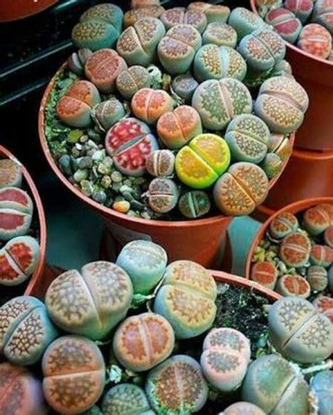 jual lithops bunga batu kaktus bukan angrek mawar lily