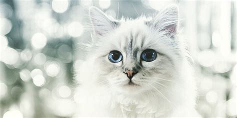 karl lagerfelds cat choupette earned  million