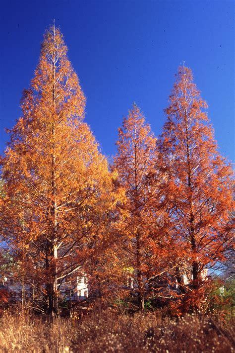 dawn redwood metasequoia glyptostroboides mount auburn