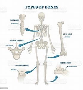 Types Of Bones Vector Illustration Labeled Anatomical