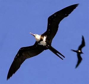 Greater Frigatebird