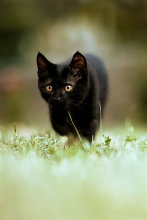 Phone Wallpaper Black Cat by Small Black Cat Iphone Wallpapers 5 S 4 3g Sleeping