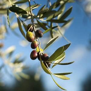 Mimosa Résistant Au Froid : arbre pour terrasse liste ooreka ~ Melissatoandfro.com Idées de Décoration