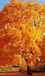 Autum Tree Smartphone Wallpapers HD ⋆ GetPhotos