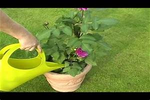 Dahlien Im Topf überwintern : video dahlien im k bel richtig pflegen ~ Orissabook.com Haus und Dekorationen