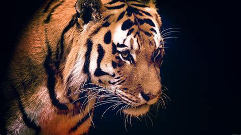 mm tiger dark animal love nature wallpaper