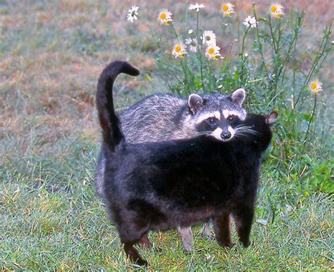 raccoon   housecat  friends mendonoma sightings