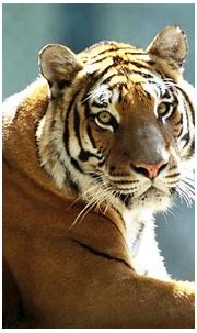 pictures: top 10 tiger, tiger wallpaper, top ten wild animal
