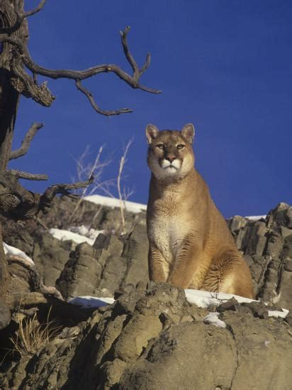 male mountain lion cougar  puma felis concolor