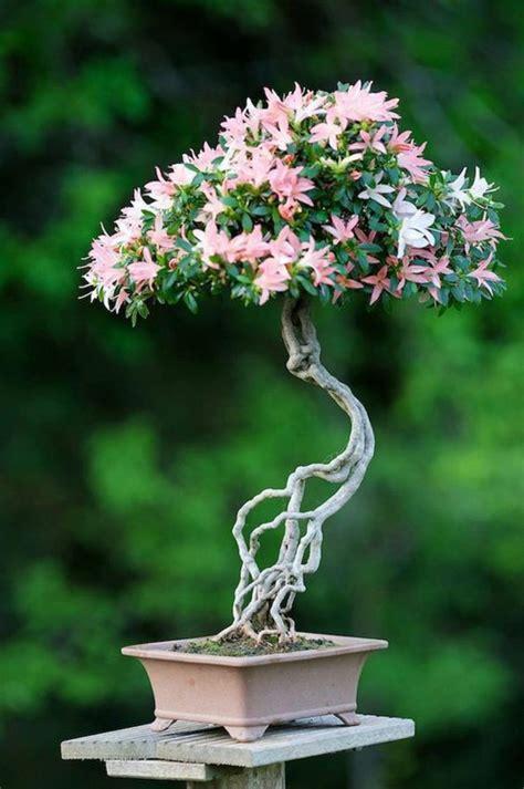 buy bonsai tree  properly maintain  tips fresh