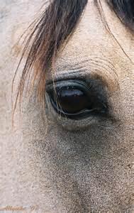 Buckskin Horse Eyes