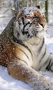 [46+] Snow Tiger Wallpaper on WallpaperSafari