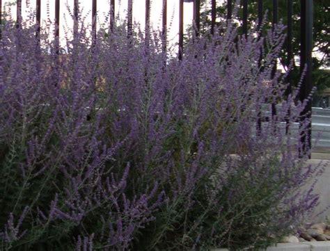 purple flowering bush  colorado flowers forums