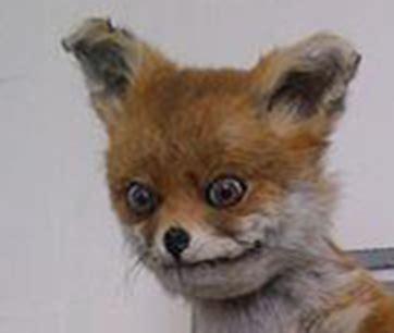 Stoned Fox Meme - foxx