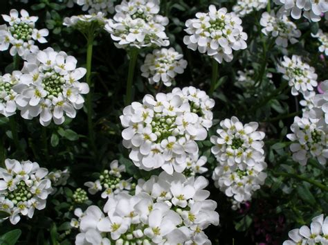 ground cover with white flowers ground covers johnston s evergreen nursery