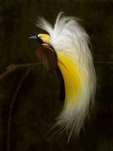 Greater bird of Paradise | Nature: Animals & Insects ...