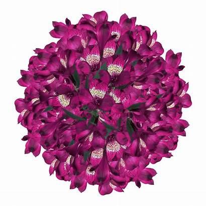 Purple Alstroemeria Flowers Super Alstroemerias Globalrose Lowest