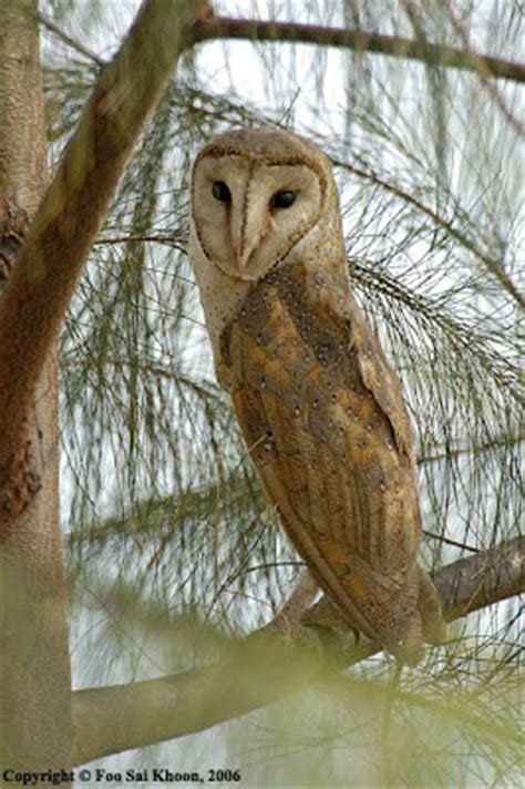 Barn Owl Malaysia by The Lazy Lizard S Tales Punggol Anglers Left Poor Owl