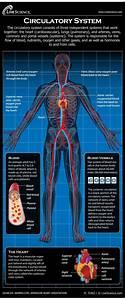 Human Circulatory System - Diagram