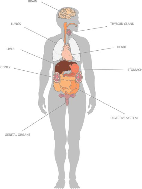 Simple Diagram Of Organ by Map Of Organs To Understand Human