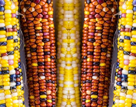 Maize | Definition, Types, History, Uses, Health Benefits ...
