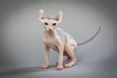 cat breeds that don t shed list of cat breeds that don t shed pets world