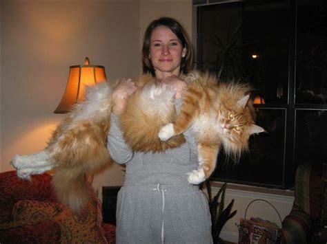 Who's That Cat? The Maine Coon