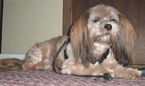 my lhasa apso is shedding hair picture of lhasa apso