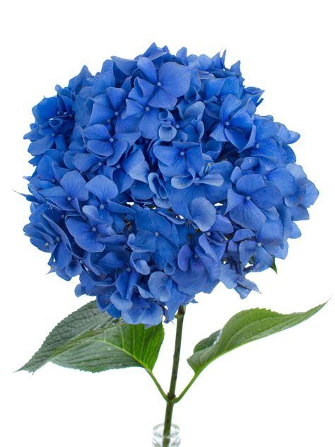 blaue blumen frühling hortensie pimpernel blau a hydrangeas blumen blaue blumen und blau
