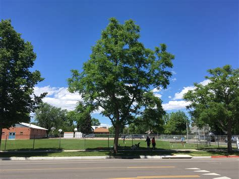 An unofficial state tree of kentucky, the kentucky coffee tree is closely related to the honeylocust. Emerald Ash Borer Vermin Prompts Alternative Ideas