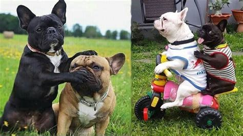 funny  cute french bulldog puppies compilation