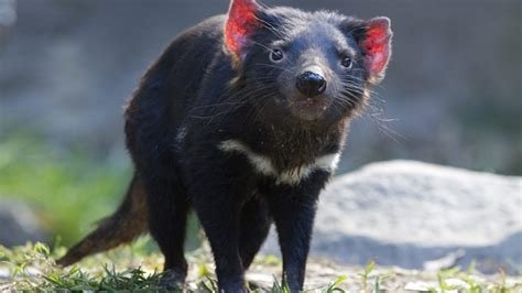 Their powerful jaws, sharp claws, and intense screeches give them a fierce reputation that. Tasmanian devils evolution fighting cancer threat | The New Daily