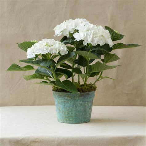 care of hydrangeas in pots white robe hydrangea verdigris pot terrain