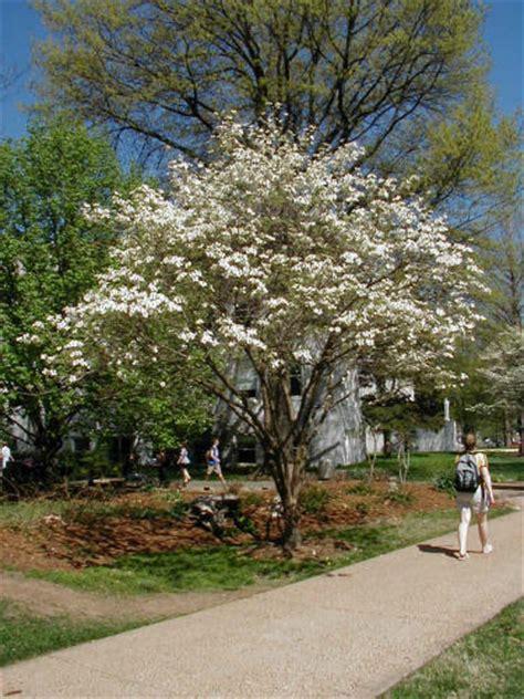 dogwood flowering tree flowering dogwood