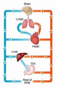 Circulatory System Diagram