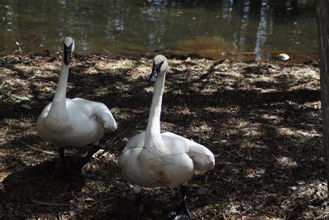 lake lonesome trumpeter swans saving swan edwards animals