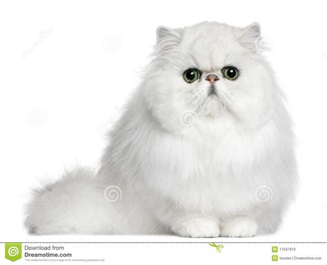 Persian Cat, 8 Months Old, Sitting Stock Image Image