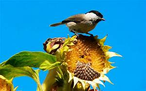 Schöne Herbstbilder Kostenlos : hd hintergrundbilder sonnenblumen vogel herbst bilder ~ A.2002-acura-tl-radio.info Haus und Dekorationen