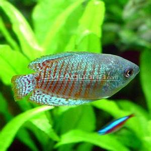 17 Best images about Tropical Fish Fresh Water on