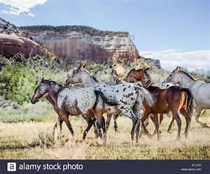 Herd Auf Englisch : tiger horse herde tiger pferde sind gaited tourenpferde mit einer fellfarbe hnlich wie die ~ Orissabook.com Haus und Dekorationen