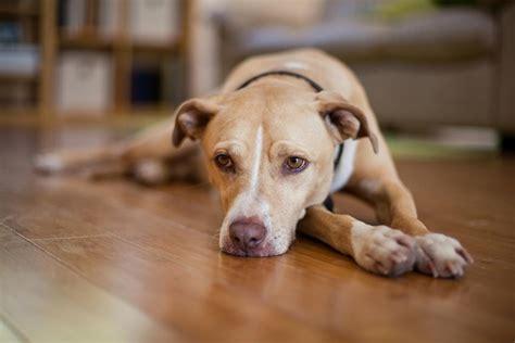 Lymph Node Cancer in Dogs: Symptom & Treatment   Figo Pet