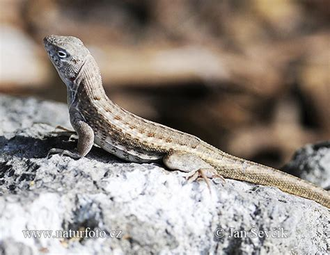 tailed lizard shreibers curly tailed lizard photos shreibers curly tailed lizard images nature wildlife