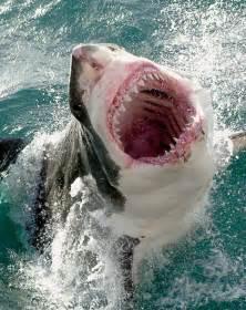 great white shark the big fish speaks
