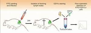 Protocol For In Vivo Migration Assay  Mice Are Painted