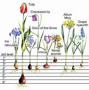 Planting Charts for Spring-Flowering Bulbs