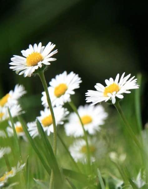 margherite fiori fiori margherita fiori di piante