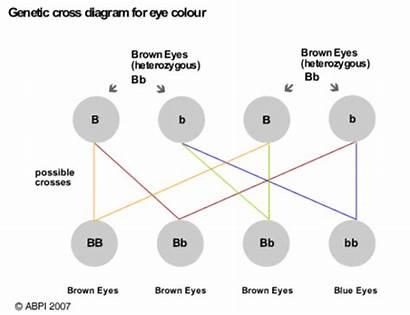 Eye Colour Diagram Inheritance Genetic Cross Tongue